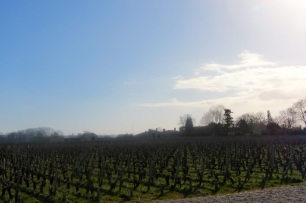 Vines in the winter