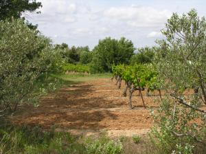 Vineyard surrounded by olive trees - Provence
